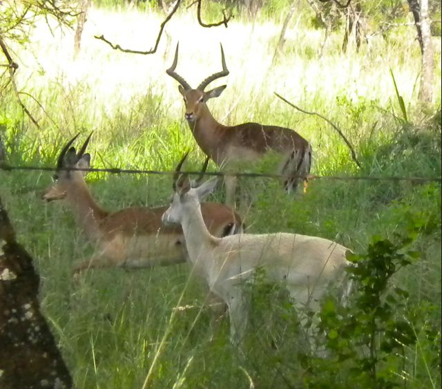 conrad-stoltz-training-white-impala