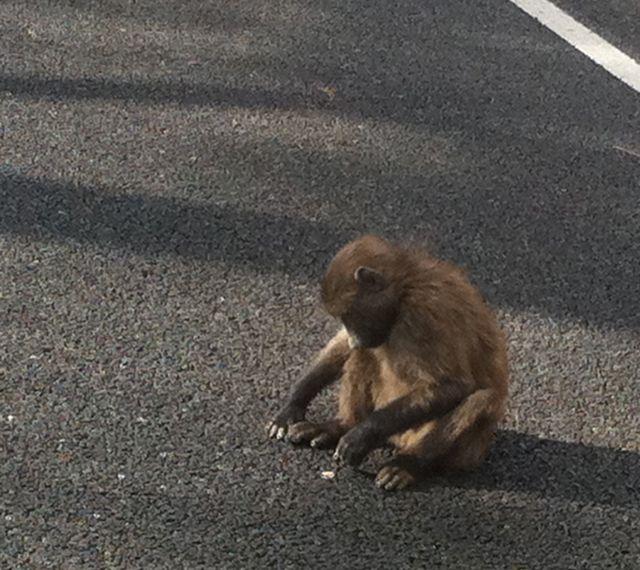 conrad-stoltz-franschhoek-baby-baboon