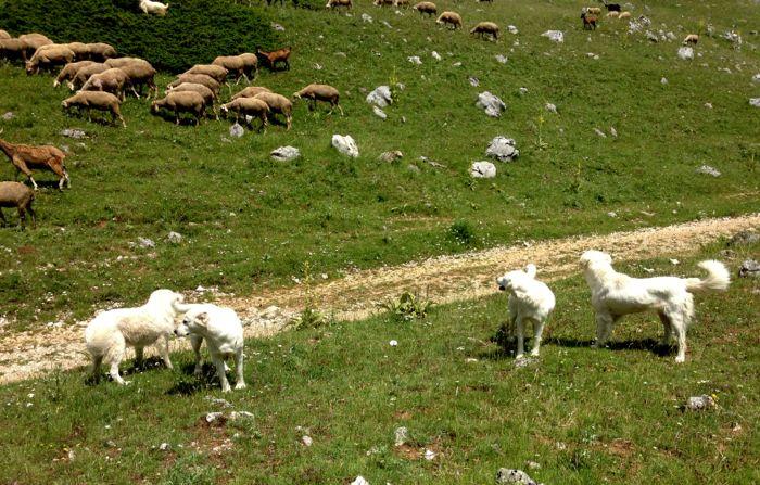 Conrad Stoltz Scanno XTERRA Italy sheep guard dogs